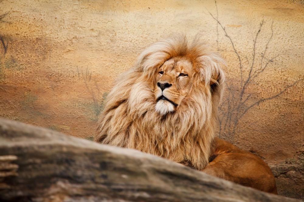 male-lion-112940815797In