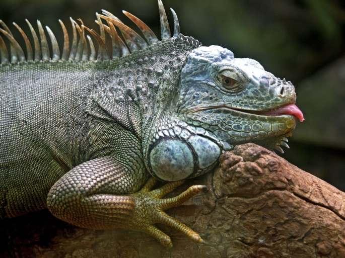 iguana-lizard-animal-brazil-86598